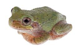 Gröna Treefrog, cinerea Hyla Fotografering för Bildbyråer