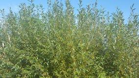 gröna trees lilla trees blå sky Royaltyfria Bilder