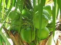 Gröna tropiska kokosnötter Arkivbilder