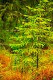 Gröna unga granar i skogen Arkivbild