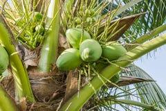 Gröna unga kokosnötter Arkivfoto