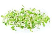 Gröna unga solrosgroddar Arkivbilder