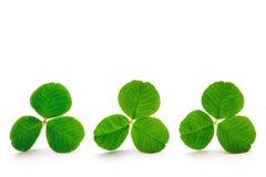 Gröna växt av släktet Trifoliumsidor Fotografering för Bildbyråer