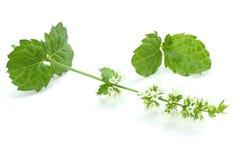 Gröna växter för mintkaramellblad på vit bakgrund, aromatisk rekvisita för pepparmint av starka tänder Royaltyfri Foto