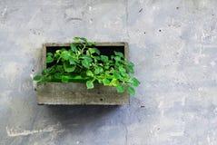 Gröna växter i en träjardiniere på en grå vägg som garnering i den Iseo staden royaltyfri fotografi