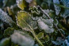 Gröna växter med rimfrost i höst royaltyfria foton
