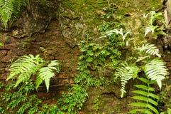 Gröna växter på den gamla väggen Royaltyfria Bilder