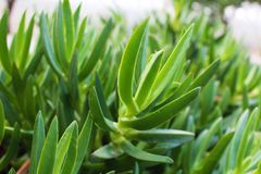 Gröna växter som är liknande till aloe vera royaltyfri fotografi