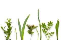 Gröna växter som isoleras på vit bakgrund fotografering för bildbyråer