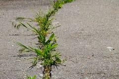 Gröna växter som växer i sprucken textur för asfaltväg Arkivfoton