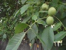 gröna valnötter för filial Royaltyfri Fotografi