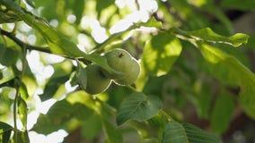 Gröna valnötter i gröna sidor på trädet stock video