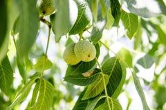 Gröna valnötter i treen Royaltyfri Bild