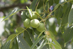 Gröna valnötter på en trädfilial Royaltyfria Foton