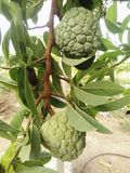 Gröna vaniljsåsäpplen royaltyfria bilder