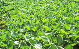 Gröna vattenhyacinter som svävar växter på floden royaltyfri fotografi
