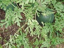 Gröna vattenmelon i trädgården royaltyfri fotografi
