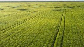 Gröna vetestammar växer på enormt fält på sommardag lager videofilmer