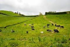 Gröna villaFranca ängar i Sao Miguel Island av Azores Arkivfoton