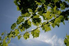 gröna vines för druva Royaltyfri Fotografi
