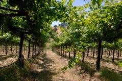 gröna vines för druva Arkivfoton