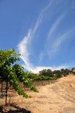 gröna vines för druva Fotografering för Bildbyråer