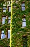 Gröna Vines runt om gammala Windows Arkivbilder