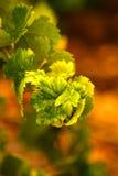Gröna vinrankasidor på apelsinen background1 Royaltyfria Foton
