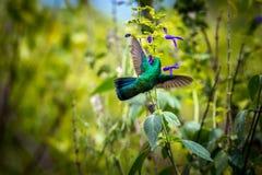 Gröna Violet Eared Hummingbird royaltyfria bilder