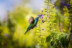 Gröna Violet Eared Hummingbird arkivbilder