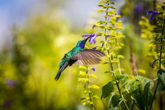 Gröna Violet Eared Hummingbird Fotografering för Bildbyråer