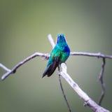 Gröna Violet Eared Hummingbird royaltyfri bild