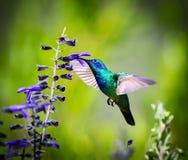 Gröna Violet Eared Hummingbird Royaltyfri Foto