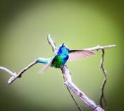 Gröna Violet Eared Hummingbird arkivfoton