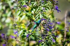 Gröna Violet Eared Hummingbird Arkivfoto