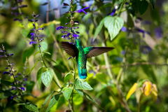 Gröna Violet Eared Hummingbird arkivbild