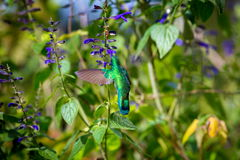 Gröna Violet Eared Hummingbird royaltyfria foton