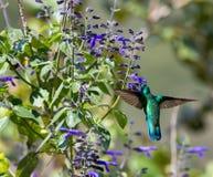 Gröna Violet Eared Hummingbird royaltyfri fotografi