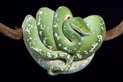 gröna viridis för morelia pytonormtree Arkivfoto