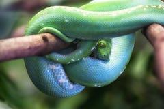 gröna viridis för morelia pytonormtree Royaltyfria Bilder