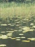 Gröna waterlilys på sjön arkivbilder