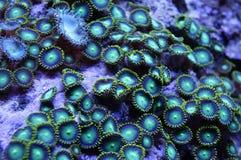 Gröna Zoanthid Coral Colony Royaltyfria Foton