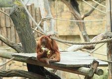 Gröngöling av orangutanget Royaltyfria Foton