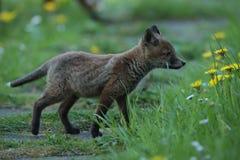 Gröngöling för röd räv på äng royaltyfri foto