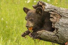 Gröngöling för svart björn i en ihålig journal Royaltyfri Fotografi