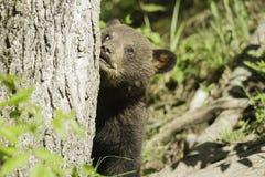 Gröngöling för svart björn på våren Arkivfoto