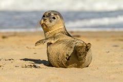 Gröngöling för valp för gemensam skyddsremsa för grå färger på den sandiga stranden Royaltyfri Foto