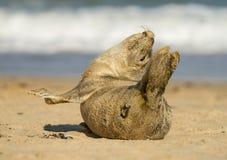 Gröngöling för valp för gemensam skyddsremsa för grå färger på den sandiga stranden Arkivfoton