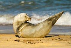 Gröngöling för valp för gemensam skyddsremsa för grå färger på den sandiga stranden Royaltyfri Fotografi