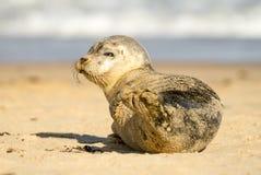 Gröngöling för valp för gemensam skyddsremsa för grå färger på den sandiga stranden Fotografering för Bildbyråer